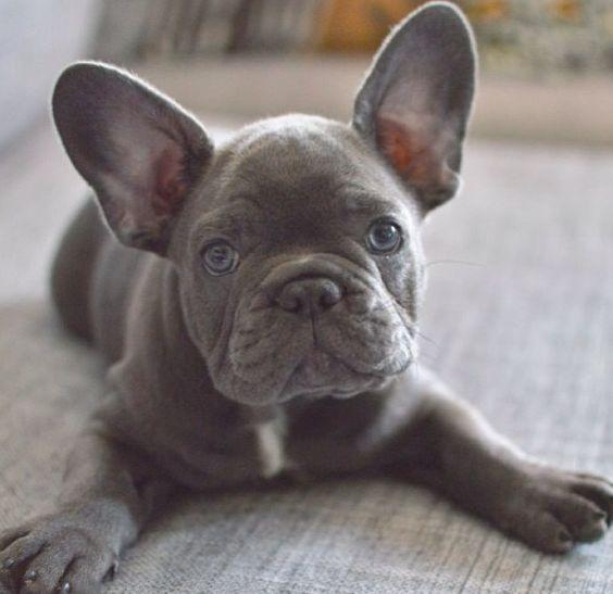 Blue French Bulldog Puppy❤️