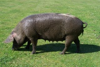 New Forest pig - she'd been in the duck pond then went to the village fete! Sadly no longer with us.