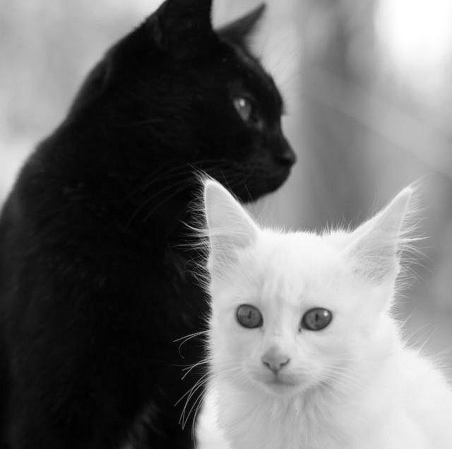 kittens: Kitty Cat, Black And White, Black White, Baby Animal, Black Cat, Baby Cat, Yin Yang, White Cat, White Kittens