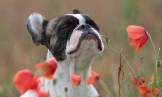 Ahhh, springtime in the morning!Rose, Puppies, French Bulldogs, Deep Breath, Poppies, Happy Dogs, Boston Terriers, Flower, Animal