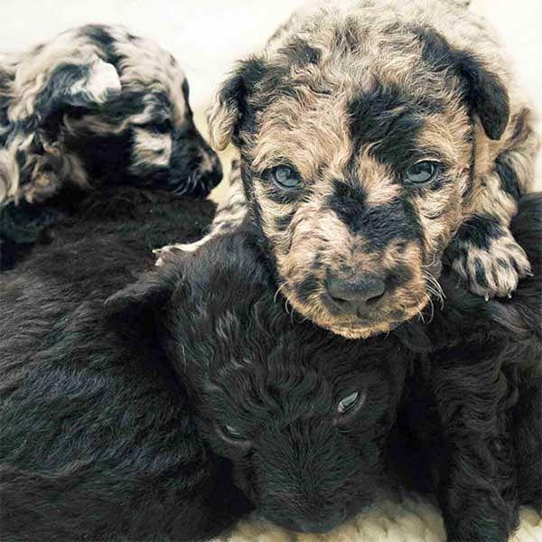 Los perros, sin importar raza o tamaño son hermosos, pero estos sin lugar a duda son únicos e irrepetibles, las manchas y la forma de su pelaje es tan extraña que parece fuera de este mundo. ¿Cuál fue tu favorito? Los boxers de tres colores son súper raros.