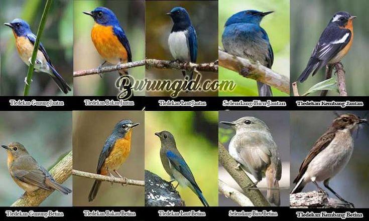 32 Jenis Burung Tledekan Lengkap Dengan Gambar Burung Burung Kecil Jenis
