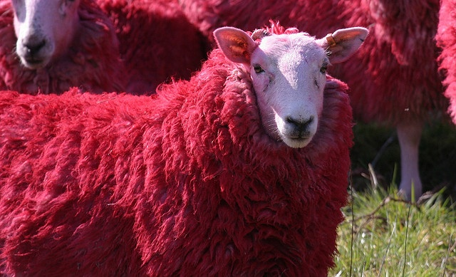 "A new, improved breed called ""Benfica"" ;))  RED sheep of Scotland by Bathgate Wildlife, via Flickr"