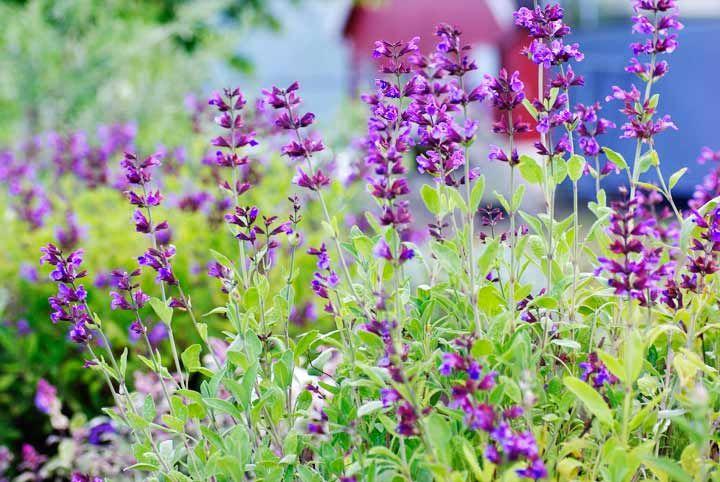 Salvie har vakre, lett lodne og svært aromatiske blader. På sensommeren får salvien lilla blomster som bier og sommerfugler setter stor pris på.