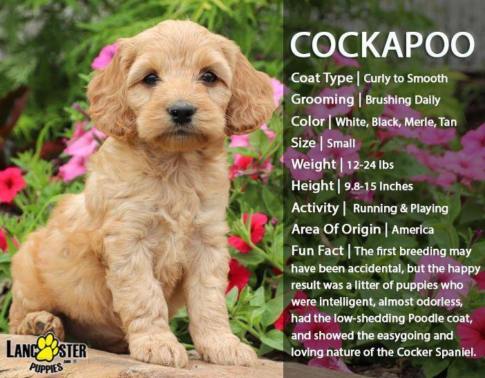 Hypoallergene Hunde Haustiere Hypoallergene Hunde Hypoallergen Hypoallergene Hunde Chiens Hypoall Cockapoo Puppies Pets Dogs Breeds Hypoallergenic Dogs