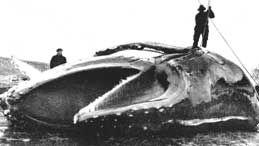 Flensin  av hval