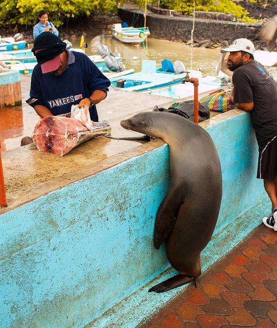 Sea lion at fish market Santa Cruz Island by CultureSpongePics, via Flickr (just hangin around, chillin out, waiting for a bit of fish!)