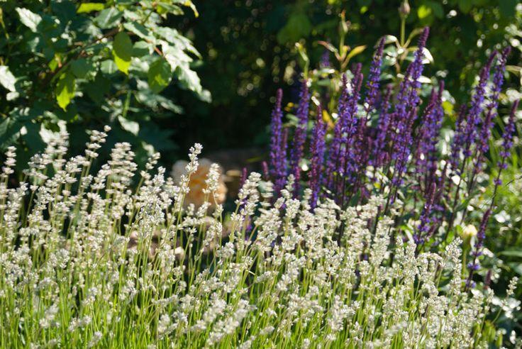 Rose lavender and perennial sage