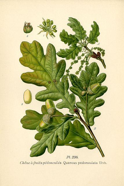 Chêne à fruits pédonculés dans A. Masclef, Atlas des plantes de France, Paris, 1891 /  ©Musée du Vivant - AgroParisTech
