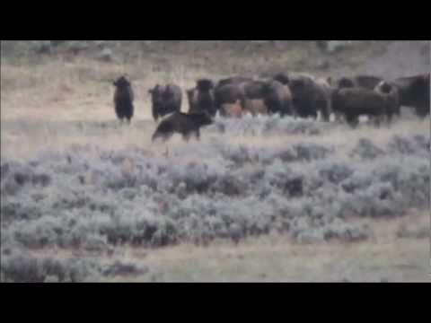 Grizzly bear hunts bison calfs in Lamar valley, then gets chased away. Wolf watches  from the sidelines.