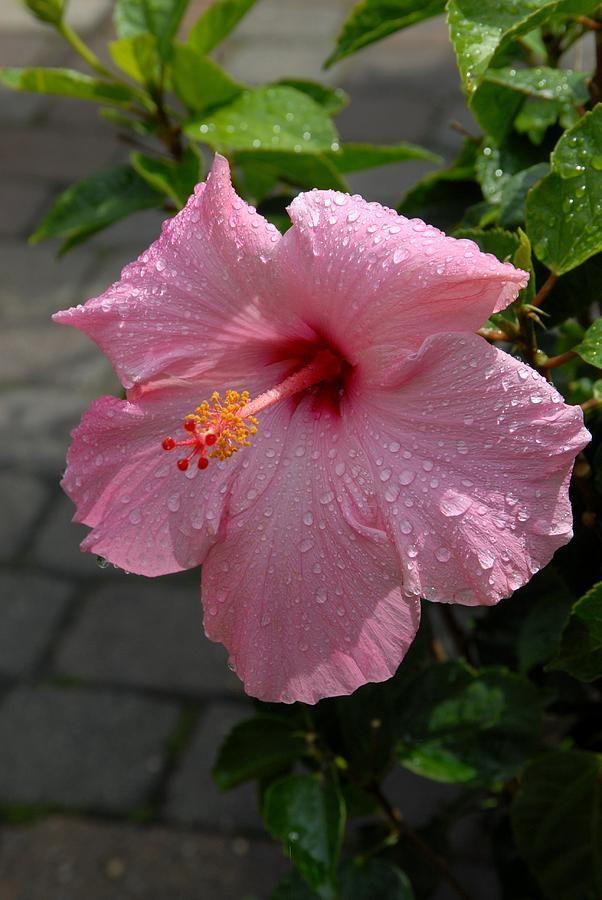 16 best fleur framboise images on pinterest   flowers, gardening