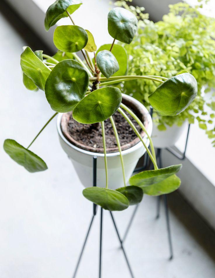 #pannenkoekplant #Pilea Peperomioides styling: Moniek Visser, fotografie: Sjoerd Eijckmans