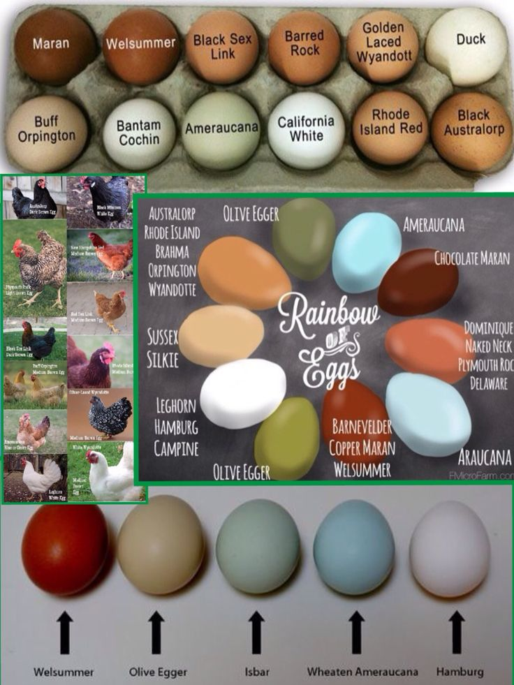 Chicken breed & egg color chart