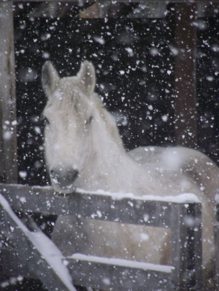 Horse Gypsy in the snow