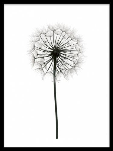 Dandelion, poster. Fin tavla med maskros. Liten poster med fint svartvitt botaniskt fotografi på en maskros på vit bakgrund. Stilren utformning som skapar en fin detalj som tavla på väggen och ett perfekt komplement till ett tavelcollage på vägg med sin rena design.