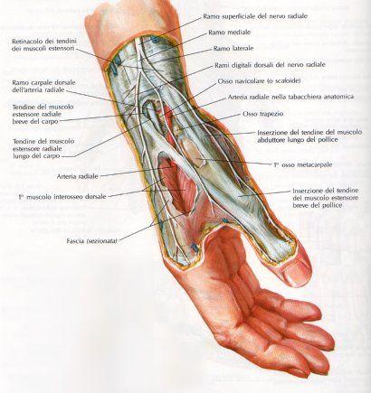 8 best Muñeca y mano. Anatomia, articulaciones y músculos. images on ...