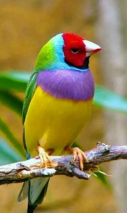 "The Gouldian Finch, also known as ""Rainbow Finch."" Scientific Name: Erythrura gouldiae • Adult Size: About 6 inches (15 cm)• Weight: About 0.5 ounces (15 g). They are endangered in their native Australia. Gouldian Finches are found with three head colors: red, black or yellow. Their breasts can be either purple or white and their backs can be three different colors! There are blue backs, yellow backs, and the regular green back."