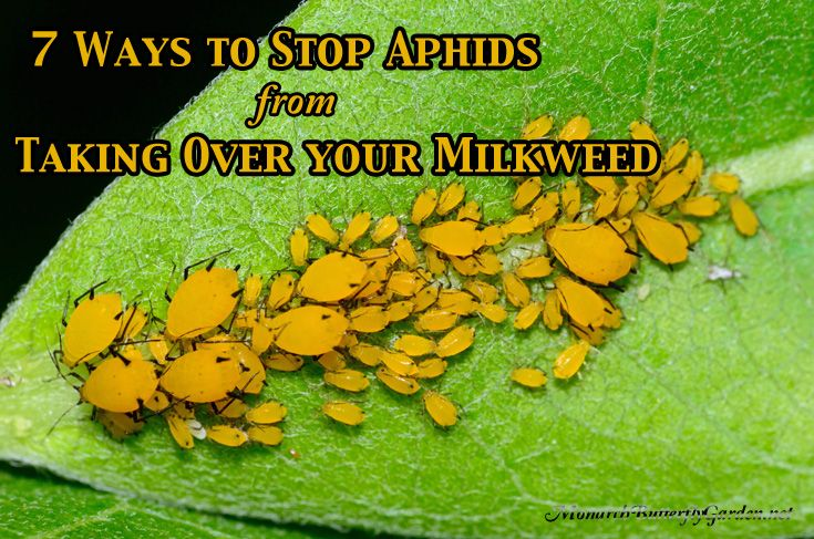 Aphid control is essential if you want to grow healthy milkweed plants for monarch butterflies. Here are 7 ways to control aphids organicall...