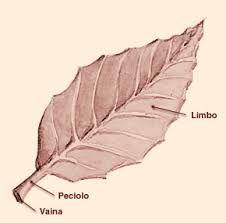 Partes da folla dunha planta cormófita