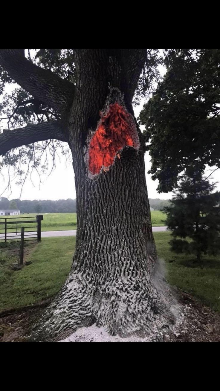 Tree Struck By Lightning And Burning Within Its Trunk