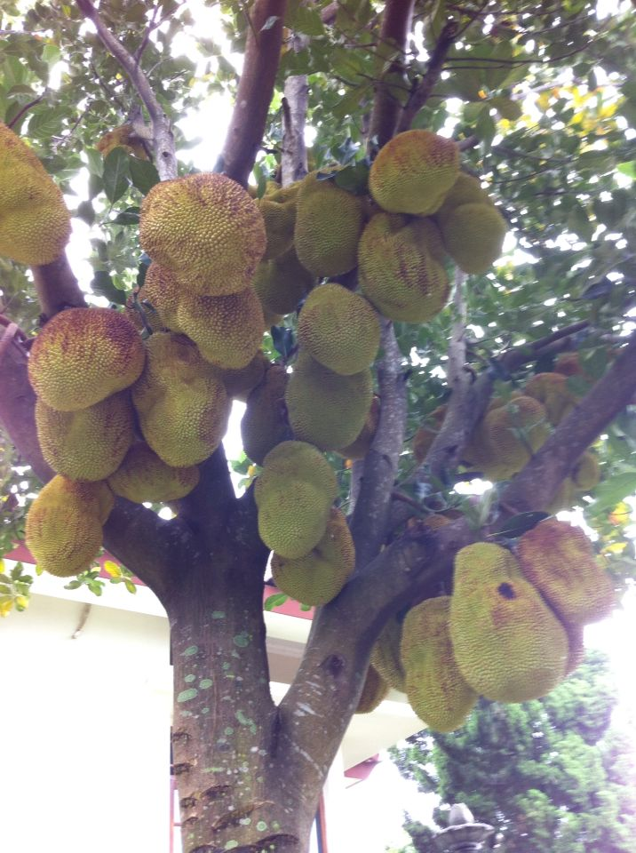 The jackfruit in the front garden