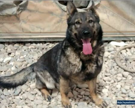 "1/3/17 A German shepherd, who retired from her military duties back in 2012, is missing in Sylmar, California. According to ABC 7 News, the dog, who was trained to detect explosives, managed to escape from her owner's fenced yard last Tuesday and she has not been seen since. The dog, named ""Anca,"" belongs to Anthony Aguirre, a …"