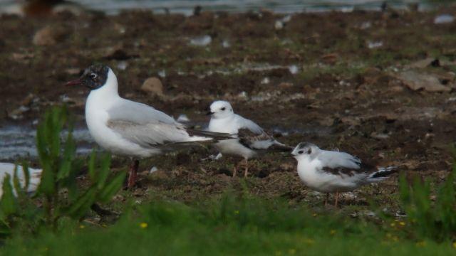 ross's gull | RSPB Bowling Green Marsh Ross's Gull - General Birding - Devon Bird ...