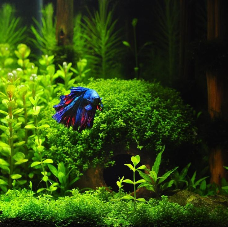 An awesome shot of a #betta in his absolutely stunning planted aquarium by @wanderingando #bettaaquarium #bettatank #aquascape #plantedtank