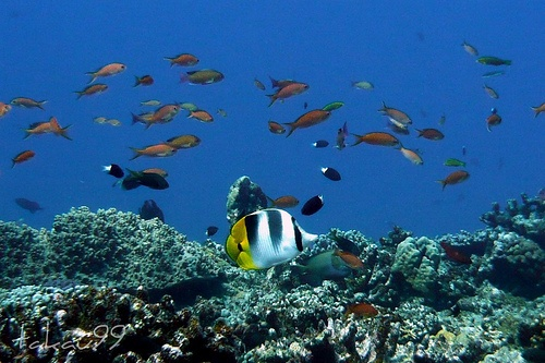 Double Saddle Butterfly fish, Okinawa Japan