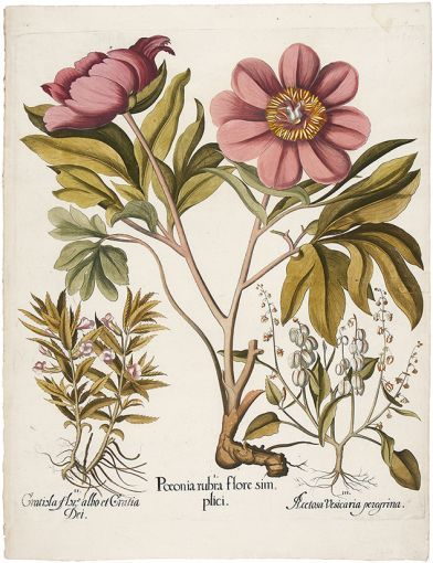 BESLER, Basilius. Paeonia Rubra Flora Simplici. Original copper engraving with later hand colour. 1st edition, plate:108, 1613. #flora #botanical #print #RHSChelseaflowershow