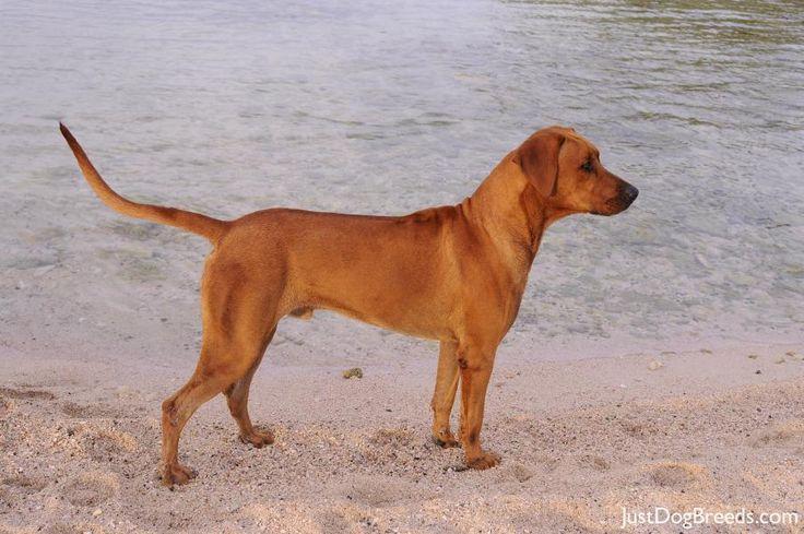 Beau Rhodesian Ridgeback Dog Breeds Rhodesian Ridgeback Dog Rhodesian Ridgeback Dogs