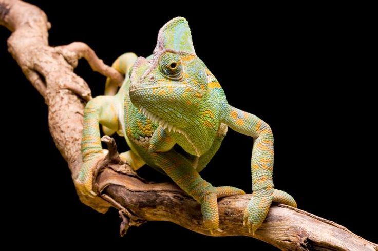 Chameleon Facts [Slideshow]