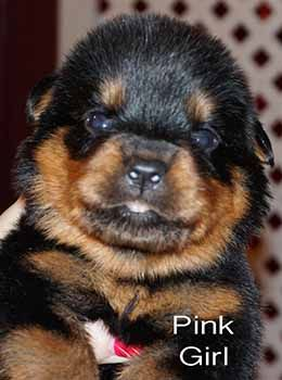 Rottweiler Breeders | Rottweiler Puppies for sale | German Rottweilers For Sale | Imported Rottweilers For Sale
