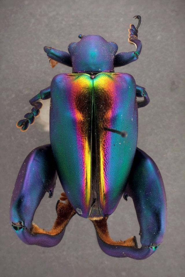 Frog-Legged Leaf Beetle (Sagra buqueti).Malaysia, Borneo, Sumatra, Phillipines, Java.