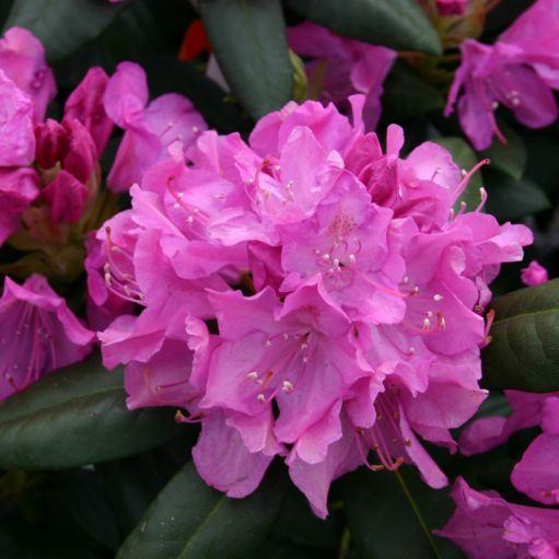 Azalee (Rhododendron) Roseum Elegans