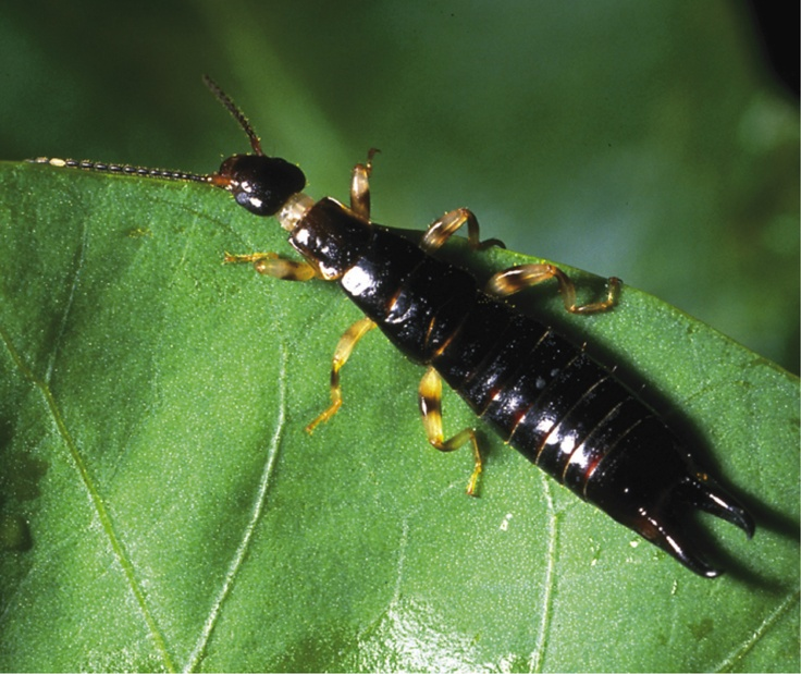 Earwigs Are Omnivores They Eat A Variety Of Things