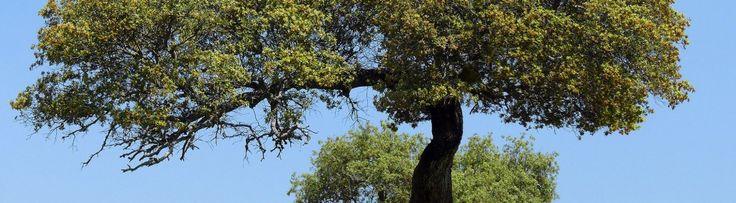 Encina bonsai tree plants