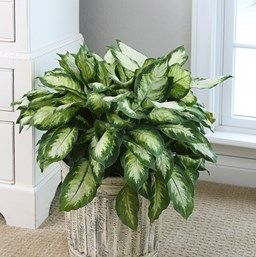 pretty dieffenbachia house plant. Find out how to grow dieffenbachia  a common indoor plant with lush tropical leaves It s easy and beautiful 29 best DIEFFENBACHIA images on Pinterest Indoor house plants