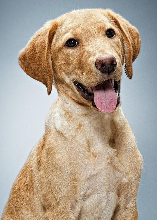 Labrador Portrait opawz.com  supply pet hair dye,pet hair chalk,pet perfume,pet shampoo,spa....