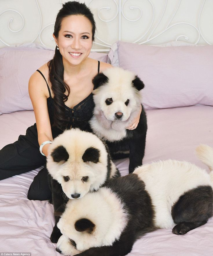 Dog Breed That Looks Like A Panda