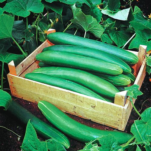 Garden Sweet Burpless Cucumber Seeds Vining plants resist downy and powdery mildew.  10- to 12-inch cukes are smooth, deep green, and absolutely delicious. 55 days from direct-sowing. Burpless cucumbers with delectable flavor and huge yields are almost unheard-of, but thats what Garden Sweet brings to the table! This vigorous vining plant delivers armloads of the most delicious cukes you will ever eat, all entirely bitter- and burp-free!