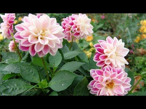 Когда и чем подкармливать цветочные культуры