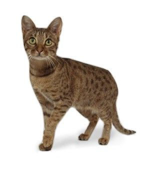 Ocicat Traits 1000+ images about OCI...