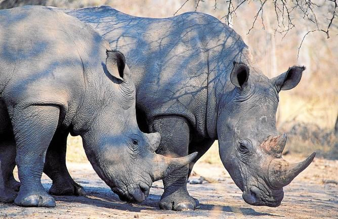 El rinoceronte negro aún está vivo - La Razón digital