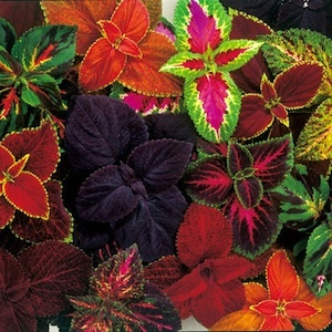These large coleus give beautiful color and grow so well in pots in the shady areas of the yard.