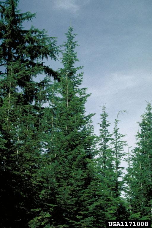 western hemlock tree 16 best plants shrubs images on pinterest shrubs dwarf and