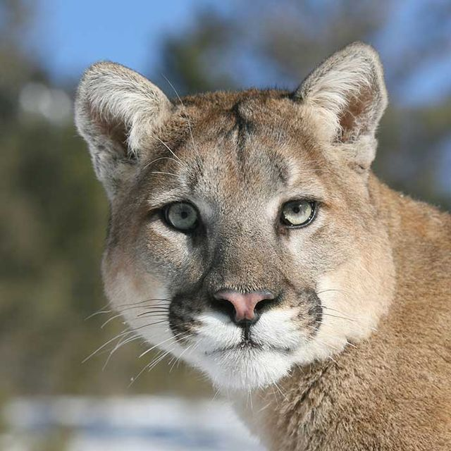 Mountain lion face - photo#29