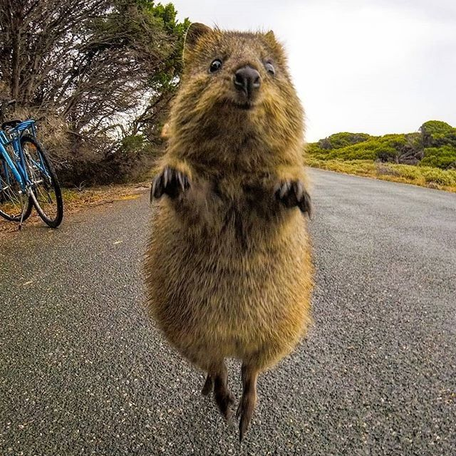 This Australian Island Is Filled With Friendly Quokkas ...