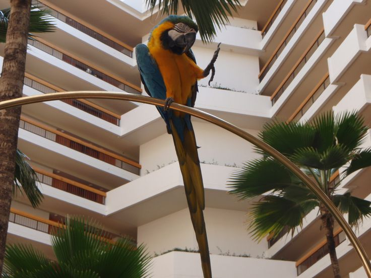Hyatt Regency Maui Resort and Spa.    Birds were out everyday in the hotel!
