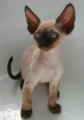 Yes, I am becoming a pet hoarder! I NEED a Devon Rex!